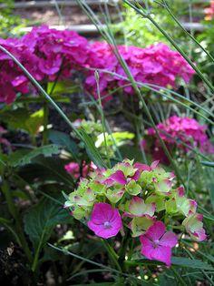 White Rock - Hydrangea   ROSE- FUCHIA   YES  FOR  MY   GARDEN ,,,,**+