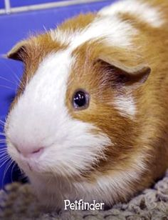 Guinea pigs aren't just for kids! These playful and affectionate pets make perfect companions for people of all ages.