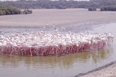 Dubai: The flamingos at Ras Al Khor Wildlife Sanctuary - Dubai Guide - Dubai Blog | Mitzie Mee