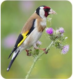 Goldfinch (Cardellino)