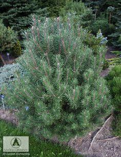 Pinus mugo 'Tajga' -