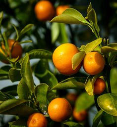 Kumquats / Citrus Pages Colorful Fruit, Orange Fruit, Green And Orange, Orange Juice, Yellow, Citrus Trees, Fruit Trees, Trees To Plant, Orange Trees
