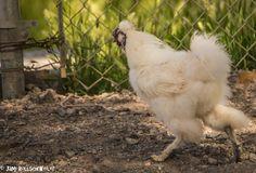 Random Chicken