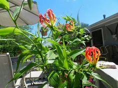 ✤ 1 Bare Root Starter Plant Corkystem Passionvine Passiflora suberosa