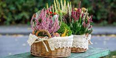 Vřesy rozkvétají mezi posledními rostlinami od konce léta do pozdního podzimu a ozdobí truhlíky, zahradu a doplní i podzimní aranžmá. Wicker Baskets, Picnic, Plants, Home Decor, Hydrangeas, Gardening, Romanticism, Landscaping, Arquitetura