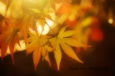 Japanese Maple Photography,Leaf Photography,Nature Photography,Fall Photography,Autumn Photography,Orange Leaves,Woodland,Forest,Botanical by ScatteredBeams on Etsy