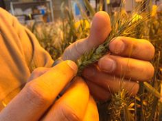 SDSU wheat breeding program develops varieties for South Dakota