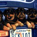 """""""Acosta Bunch"""" Rottweiler Colored Pencil 24"""" X 11"""" © Gemma Gylling"""