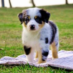 Australian Shepard puppy- makes me want to get another one, they are just soo cute!