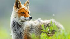 Beautiful Fox Wallpaper Full HD Pictures