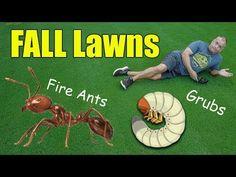 Fall Lawn Care Tips - Fall Grubs - Fire Ants - Fertilizer Fall Lawn Care, Lawn Care Tips, Landscaping Tools, Outdoor Landscaping, Fire Ants, Lawn Fertilizer, Backyard Layout, Grubs, Youtube