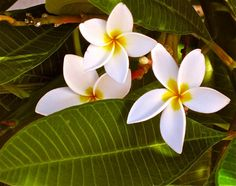 Plumeria Peek-a-boo | Hawaii Pictures of the Day