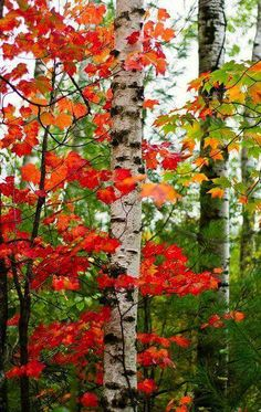 Birch tree and colorful autumn leaves. Hubbel, Michigan, USA Fall is here (by adonyvan) Beautiful World, Beautiful Places, Beautiful Pictures, Autumn Scenes, Fall Is Here, Seasons Of The Year, Fall Pictures, Belle Photo, Autumn Leaves