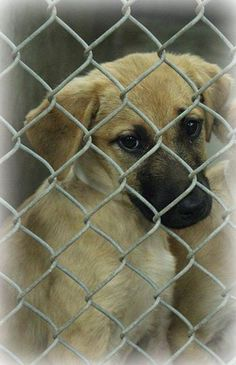 TO BE DESTROYED 7-10-14 @ 7PM by animal control. NEED FOSTER OR ADOPTER ASAP! Shepherd mix female less than a year. Completely adorable! Kennel A22. $51 to adopt. Save a shelter pet today! Odessa TX. https://www.facebook.com/speakingupforthosewhocant/photos/a.573572332667009.1073741829.248355401855372/797014343656139/?type=1&theater