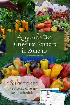 Want to grow your own peppers? Get all my pepper growing tips for amazing sweet peppers, hot peppers, spicy, snack peppers and more! Peppers are an essential part of any Summer garden that add both color and flavor to your garden and your meals. Growing peppers in hot climates like Southern California can be a challenge, but I've got some recommended varieties and unique tips for success that can help you learn to grow tons of peppers too! California Native Plants, California Garden, Southern California, Kinds Of Vegetables, Growing Vegetables, Growing Peppers, Pepper Plants, Pepper Seeds, Starting A Garden