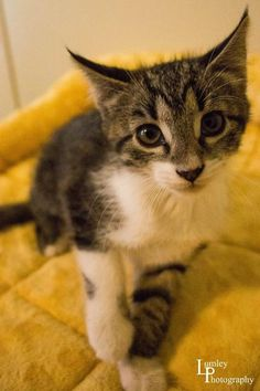 Neferet is an adoptable Domestic Short Hair searching for a forever family near Muncie, IN. Use Petfinder to find adoptable pets in your area.