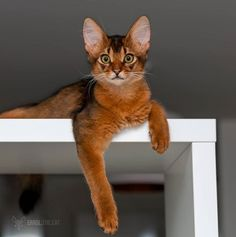 Hello there, how is it hanging? Baby Kittens, Cats And Kittens, Mean Cat, Kinds Of Cats, Small Cat, Cat Colors, Beautiful Cats, Cool Cats, Cat Lady