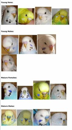 Males n females - Parakeet Care, Budgie Parakeet, Cockatiel, Parakeets, African Lovebirds, Animals And Pets, Cute Animals, Bird Mom, Animals