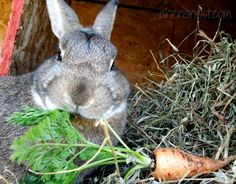 My funny rabbit eating a fresh spring carrot