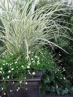 Container Garden: The containers are zinc: the grass is Miscanthus 'Dixieland' surrounded by Erigeron 'Profusion,' which will bloom until the hard frost. #ContainerGarden