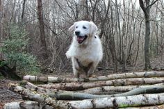 Golden Retriever, Finlay, jumping logs in Slindon Woods today