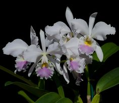 Cattleya labiata semi-alba 'Foleyana' - A species from Brazil. What a delicate beauty? Orchids never cease to amaze me.