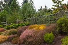 Visitors to Glacier's End are greeted by a beautiful bank of mixed heaths and heathers backed by a living fence of Cedrus atlantica 'Glauca Pendula'.calluna, erica, conifers