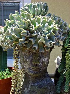 Echeveria Topsy Turvy as hair for this planter