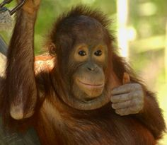 Baby orangutan image via Tampa's Lowry Park Zoo at www.Facebook.com/TampaZoo
