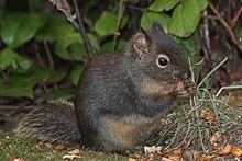 Douglas Squirrel/Chickaree/Douglas' Squirrel/Pine Squirrel/Douglas's Squirrel
