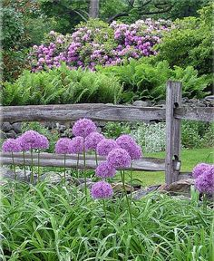 Most alliums are easier to grow than those big, gaudy tulips that disappoint you every year. They thrive from the Upper South (Zone 6) to the Coastal South (Zone 9A). They come back year after year and those stinking deer and voles won't touch them.