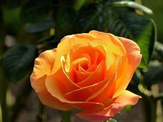 Photograph Orange Rose by Susan  Chan  on 500px