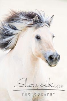 norwegian fjord horse - Google-haku