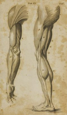 Human Figure Drawing Reference First published under the title 'Anatomy of the humane body' in London in 1713 Dedicated to Dr. Arm Anatomy, Anatomy Poses, Arm Muscle Anatomy, Leg Muscles Anatomy, Arm Muscles, Anatomy Study, Human Reference, Anatomy Reference, Drawing Reference
