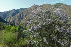 Arroyo Seco in the Ventana Wilderness is the perfect place to hike among colorful wildflowers (like the pictured California Lilac) and diverse wildlife. California Lilac, Big Sur California, Painting Pictures, Pictures To Paint, Big Sur Hotel, Cali Girl, Photos Of The Week, Wildflowers, Perfect Place