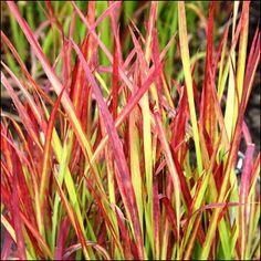 Hurmesilkkiheinä 'Red Baron'<br>Imperata cylindrica 'Red Baron' Baron, Herbs, Plants, Red, Herb, Plant, Planets, Medicinal Plants