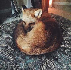 Meet Juniper, The Pet Fox Who's Basically An Orange Dog (Bored Panda) Cute Baby Animals, Animals And Pets, Funny Animals, Strange Animals, Dog Pictures, Animal Pictures, Pet Wolf, Pet Lion, Fox Images