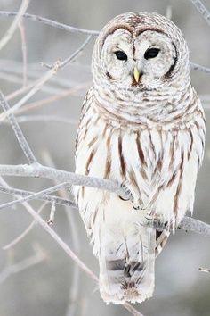 barred owl, my friend :)