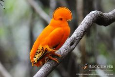 Guianan Cock-of-the-rock by Rich Lindie