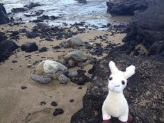Turtles everywhere are lining up to see the one and only, famous, adorable, world traveling SquirtZ on A Bay beach #hawaii #llama #squirtz #followme #worldtravel #llamalucious #lovellamas #fluffyfriend #beach #turtles #fameandfortune