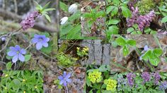 Spring flowers in Estonian forests (02.05.2015)