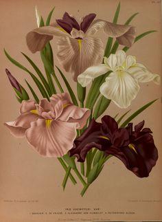 Iris ensata - circa 1881