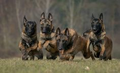 Belgian Malinois. How long before these four start trying to herd each other?