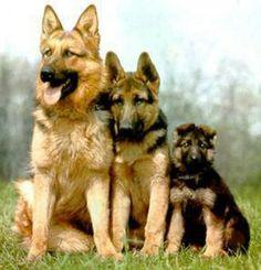 German Shepherds! http://www.pinterest.com/leea2012/