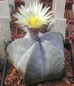 """Astrophytum is a genus of six species of cacti, native to North America. These species are sometimes referred to as living rocks, though the term is also used for other genera, particularly Lit hops. The generic name is derived from the Greek words άστρον, meaning """"star,"""" and φυτόν, meaning """"plant."""""""