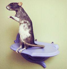 Pet preservation, taxidermy rat.