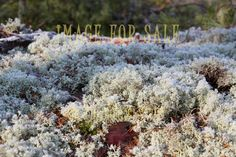 for sale frosty lichen
