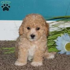Bich-poo Puppy in Lititz, PA Free Crochet Rose Pattern, Greenfield Puppies, Bichon Frise, Puppies For Sale, Poodle, Dogs, Animals, Animales, Animaux