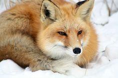 fox2-concentration   Kate Watt   Flickr
