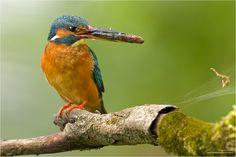 Alcedo atthis Beute Eisvogel Fisch Fütterung Haselnuß haselnuss Haselstrauch Moos Naturfoto Naturfotografie Vogel Weibchen